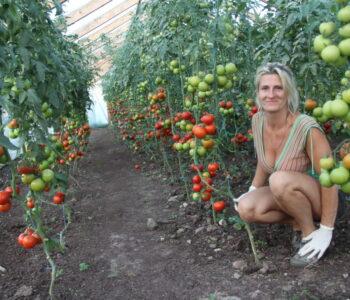Tomatitaimede müük